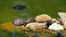 Pond Green Turtles Close Up Image