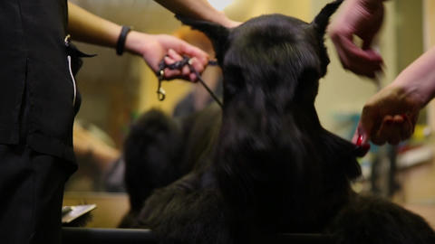 In the beauty salon for dogs, two women groomers prepare the dog for the Footage