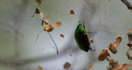 Scarab Beetle Struggling In A Spiders Net, Costa Rica Footage