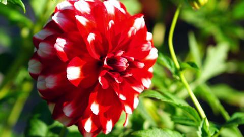 Flora - Dahlia