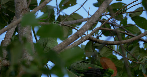 Pair Of Mealy Parrots In A Tree, Costa Rica Footage