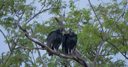 Pair Of Black Vultures On A Tree Live Action