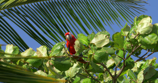Scarlet Macaws Sitting On A Tree, Costa Rica Footage