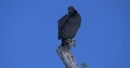 Observing Black Vultures On A Tree Live Action