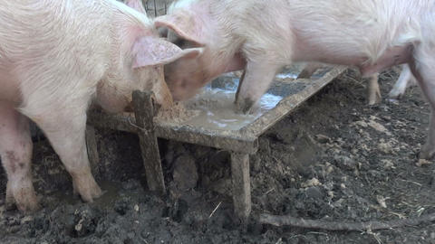 Pigs Eat Greedily Footage