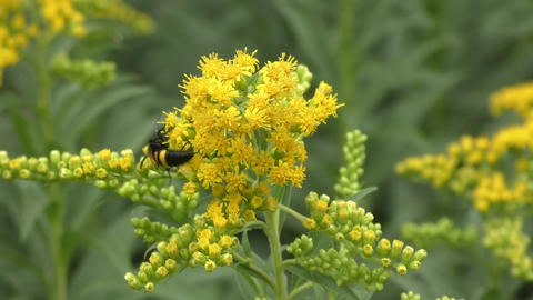 Insect collects nectar in the flower Footage