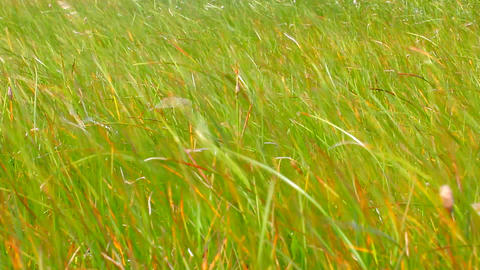 Leaves Of Grass. Life-affirming Motive - Green Grass Swaying In Wind stock footage