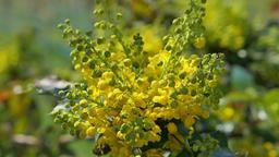 European Holly, Ilex aquifolium Footage
