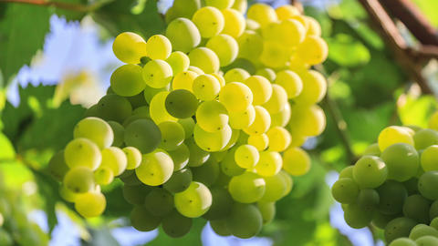 Bunch of white grapes Archivo