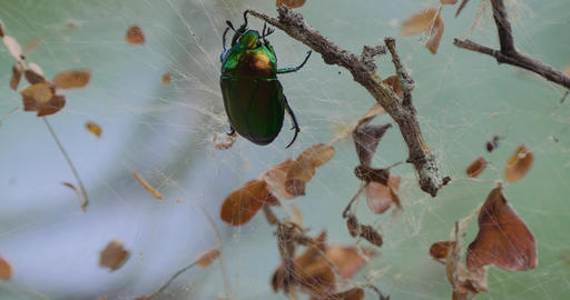 Scarab Beetle Struggling In A Spiders Net, Costa Rica Image
