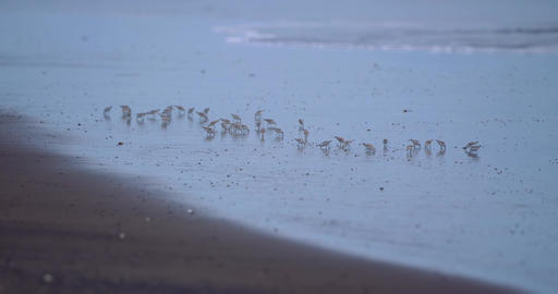 Flock Of Spotted Sandpiper Birds, Costa Rica Image
