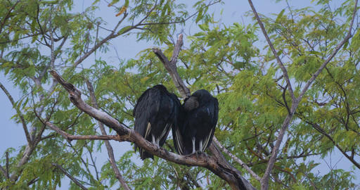Pair Of Black Vultures On A Tree, Costa Rica Live Action
