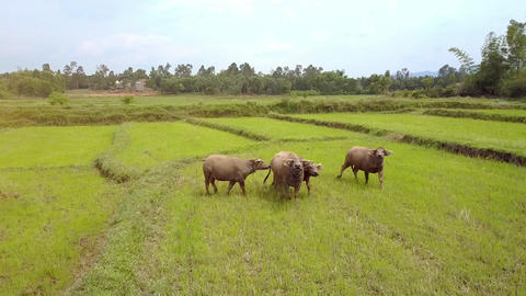 Buffaloes on Rice Field Go to and Look at Drone with Interest Footage