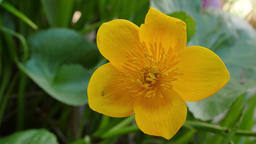 Blooming Kingcup or Marsh Marigold Footage