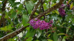 Blossoming lilac bush on a raining day Archivo
