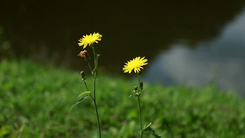 two yellow dandelions on the background of a blurred lake Footage