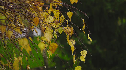 autumn, the wind swirling yellow birch leaves Footage