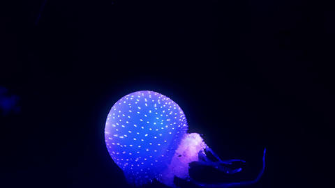 Blue glowing jellyfish moving in the dark blue water Footage