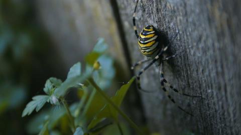 Big Wasp Spider on the Wooden Plank Archivo
