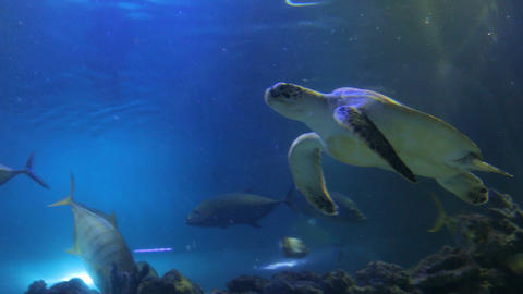 Sea Turtle Swimming with Fish Footage