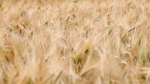 ears of ripe wheat in a field Footage