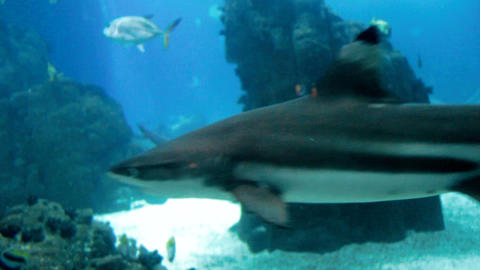 Footage of sharks swimming in big aquarium at the zoo Footage