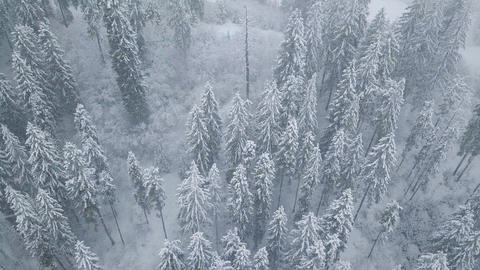 Flight over snowstorm in a snowy mountain coniferous forest, uncomfortable Archivo