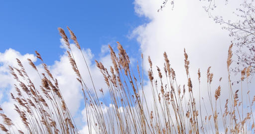 Reed vegetation moved by wind blue sky with clouds Archivo
