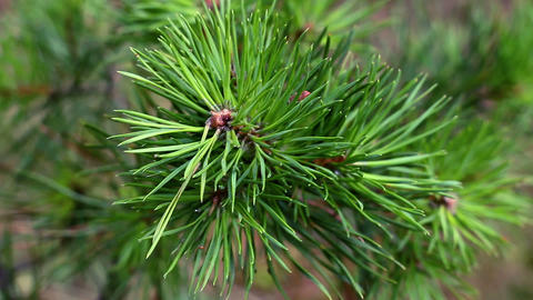 pine macro branch wind Live Action
