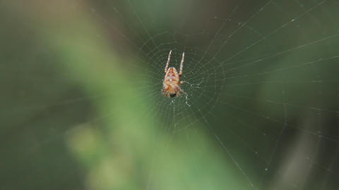 Little Cross Spider On A Web In A Garden Macro Live Action