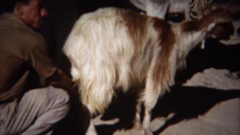 1954: Italian man milking long haired goat near farm mule Footage