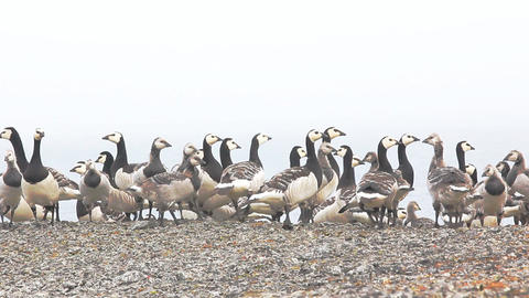 Barnacle goose worrying in front of camera in Arctic wilderness Footage