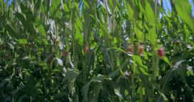 Cornfield (Zea mays) Footage