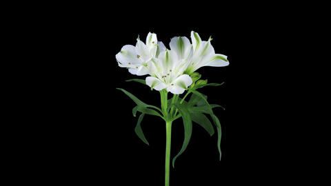 Growing, opening and rotating white Peruvian lily 1b1 with ALPHA channel 画像
