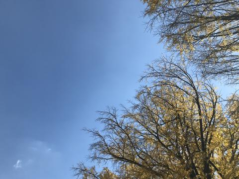 yellow ginkgo trees with bright blue sky in natural day light at Shinjuku park, Photo