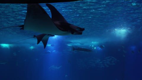 Underwater life of a coral reef. Sharks, rays and other fish. Large aquarium 画像