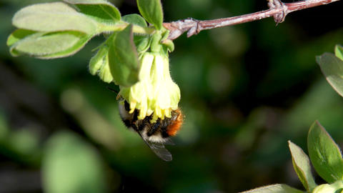 Bumblebee pollinates the flowers of honeysuckle. Spring Footage