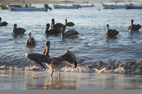 Beautiful, dark pelicans in the water at sunset フォト
