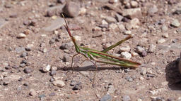 Arrow shaped grasshopper on the ground Footage