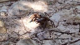 Big crab walking on dry ground Footage