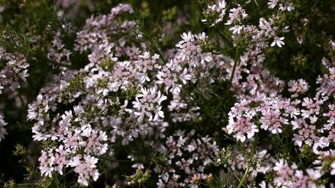 Flowering coriander Footage