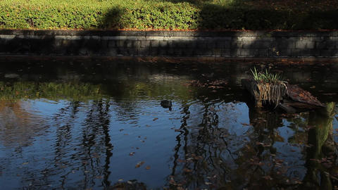 Pond / Water Surface / Spot-billed Duck - Tilt Down/Fix 画像