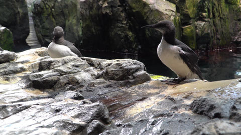Common Murre. The common murre spends most of the year at sea. In the summer Footage