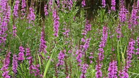 bright flowers Lythrum salicaria Footage