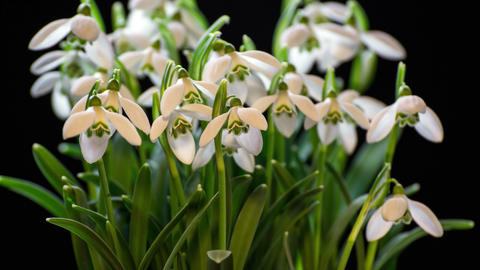 Snowdrops blooming blossom time lapse. Closeup opening flowers Footage