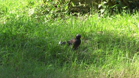 Indian Mynah bird searching food Footage