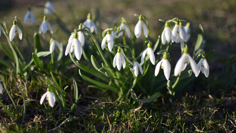 Dolly shoot of wild white snowdrops moving in a wind in green meadow. Pan left Footage