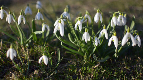 Dolly shoot of wild white snowdrops moving in a wind in... Stock Video Footage