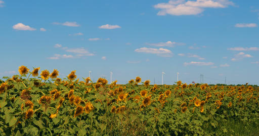 Sunflowers blooming field against summer sky Footage