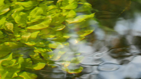 Beautiful underwater plants move in river water stream Image